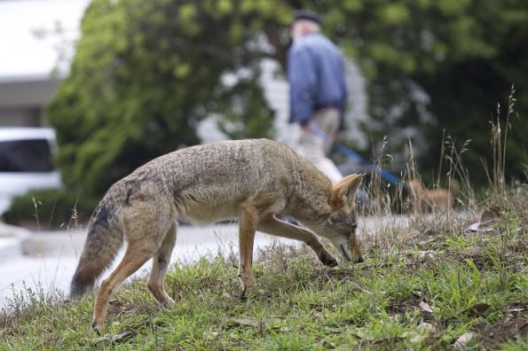 Urban-Coyotes
